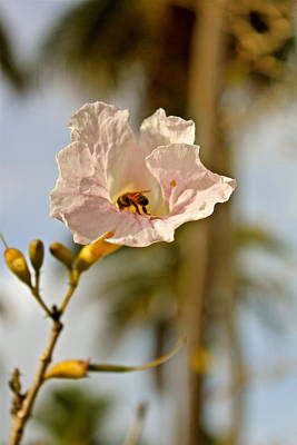 Photograph - Bee In Paradise by Felix Zapata