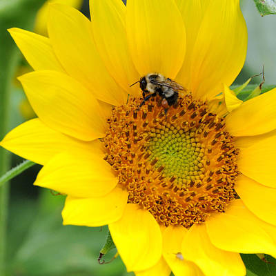 Photograph - Bee In Sunflower by Alan Lenk