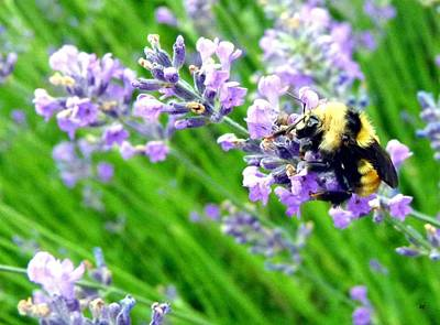 Photograph - Bee In The Lavender by Will Borden