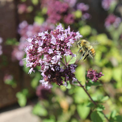Photograph - Bee Landing On Thyme by Donna L Munro