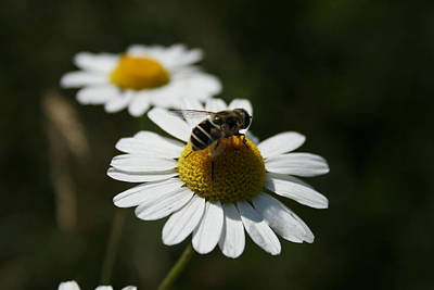 Bee On A Daisy Art Print