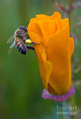 Photograph - Bee On A Poppy by Bobbi Feasel