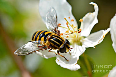 Bee On Apple Blossom Art Print
