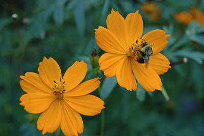 Bee On Cosmos Flower  Art Print by Tom Wurl