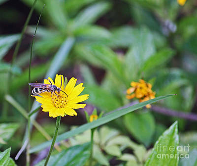Photograph - Bee On Daisy by Terri Mills