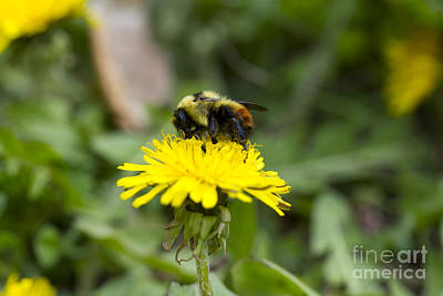 Photograph - Bee On Dandelion by Donna L Munro
