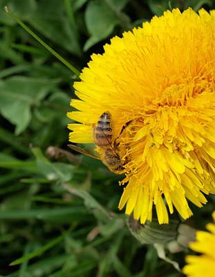 Photograph - Bee On Dandelion by Joshua House