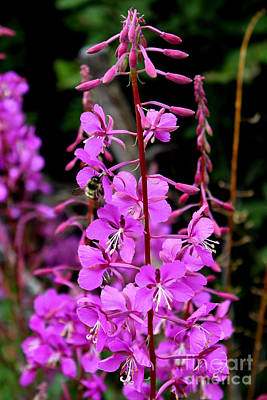 Art Print featuring the photograph Bee On Fireweed In Alaska by Kathy  White