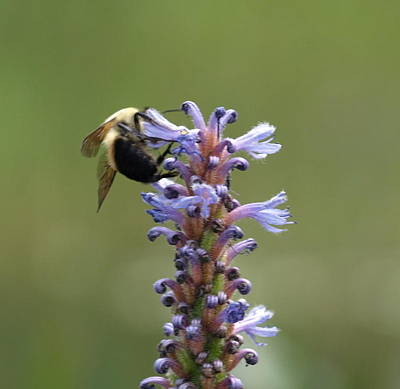 Photograph - Bee On Flowers by Katherine Huck Fernie Howard