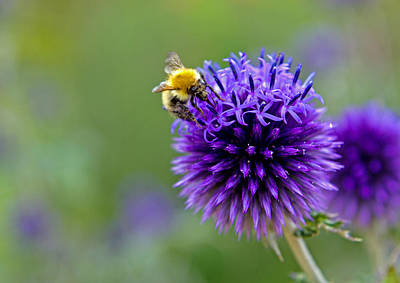 Photograph - Bee On Garden Flower by David Freuthal