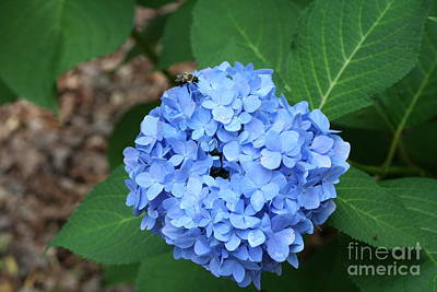 Art Print featuring the photograph Bee On Hydrangea by Michael Waters