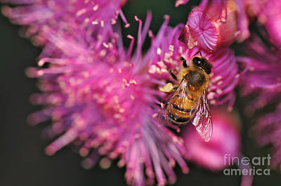 Bee On Flower Photograph - Bee On Lollypop Blossom by Kaye Menner