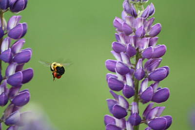 Bee On Lupine 2 Art Print