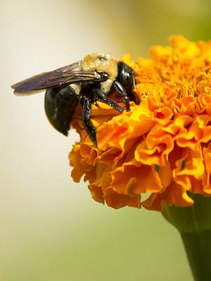 Photograph - Bee On Marigold  by Shelley Bain