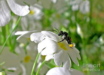 Bee On Flower Photograph - Bee On Primrose by Kaye Menner