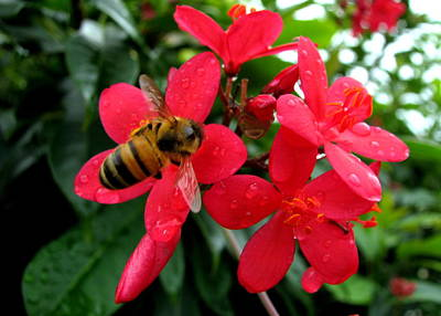 Photograph - Bee On Red by T Guy Spencer