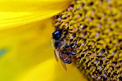 Photograph - Bee On Sunflower by Van Corey