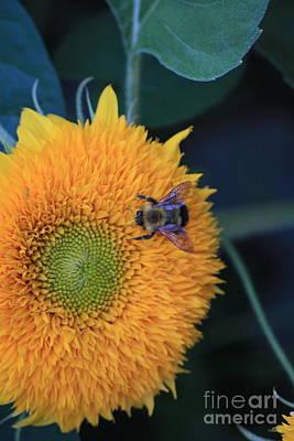 Bee On Teddybear Sunflower 2012 Art Print by Marjorie Imbeau