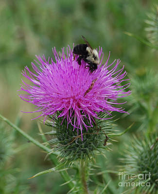 Photograph - Bee On Thistle by Grace Grogan