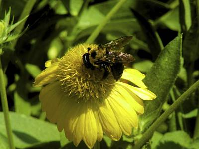 Photograph - Bee On Yellow by Beth Akerman