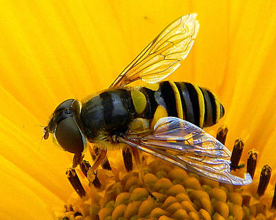 Photograph - Bee On Yellow Flower by Mark J Seefeldt
