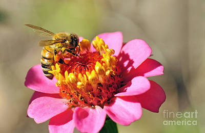 Bee On Flower Photograph - Bee On Zinnia Flower by Kaye Menner