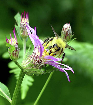 Photograph - Bee Repose by Mike Reid
