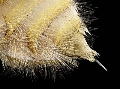 Bee Sting Photograph - Bee Stinger, Sem by Steve Gschmeissner
