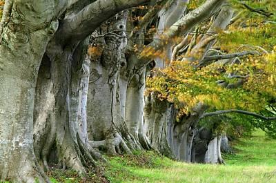 Beech Trees (fagus Sp.) Art Print