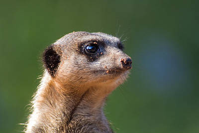 Meerkat Digital Art - Been Diggin by Julie L Hoddinott