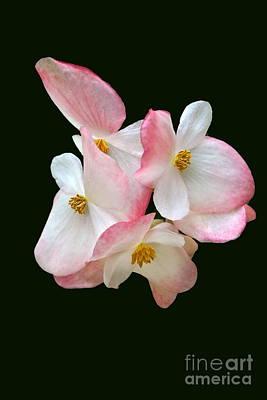 Photograph - Begonia Flower Gems by Byron Varvarigos