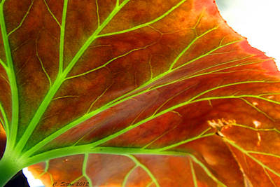 Photograph - Begonia Leaf 2 by C Sitton