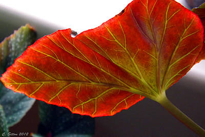 Photograph - Begonia Leaf by C Sitton