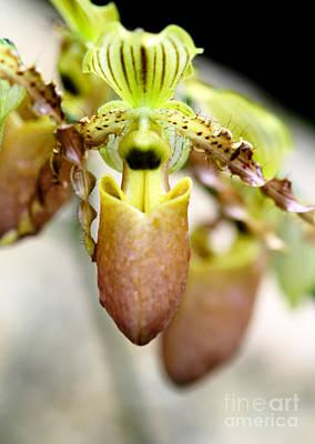 Beige Lady Slipper Orchids Art Print by Sabrina L Ryan
