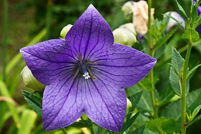 Platycodon Photograph - Bell Flower Blossom 1 by Douglas Barnett