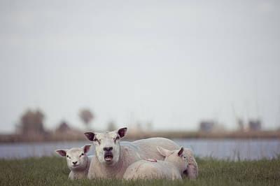Y120831 Photograph - Bellowing Sheep by Ineke Kamps