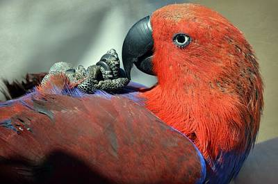 Eclectus Parrot Photograph - Belly Up by Fraida Gutovich