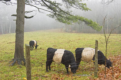 Maine Meadow Photograph - Belted Galloway Cows On Farm In Rockport Maine Photograph by Keith Webber Jr