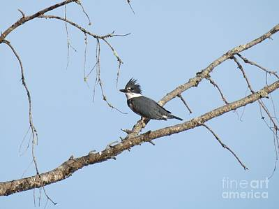 Belted Kingfisher Art Print by Gayle Swigart