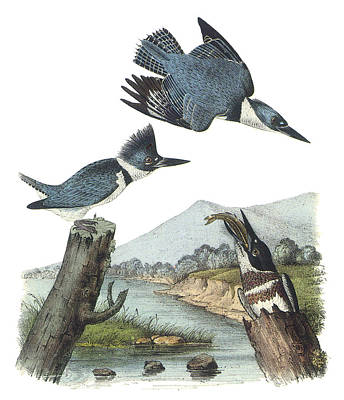 Kingfisher Painting - Belted Kingfisher by John James Audubon