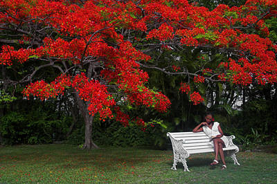 Saint Lucia Photograph - Bench And Red Flamboyant- St Lucia by Chester Williams