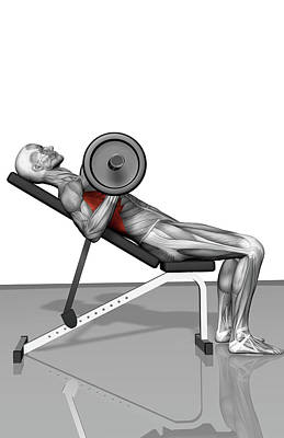 Human Body Parts Photograph - Bench Press Incline (part 2 Of 2) by MedicalRF.com
