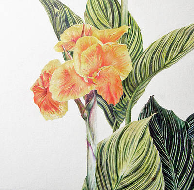 Exotic Plants Drawing - Bengal Cana Lily by Elaine VanWinkle