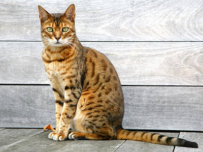 Bengal Cat Sitting On Weathered Deck Art Print by Itsabreeze Photography
