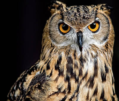 Part Of Photograph - Bengal Eagle Owl Stare by Andrew JK Tan