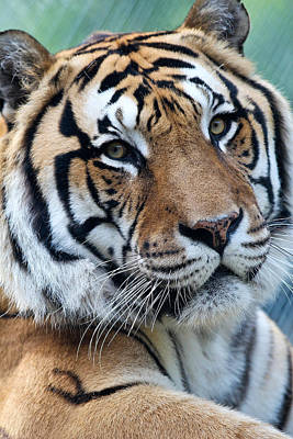 Photograph - Bengal by Elizabeth Hart