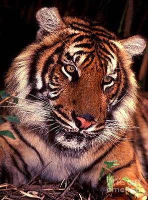 Photograph - Bengal Tiger In Thought by Paul W Faust -  Impressions of Light