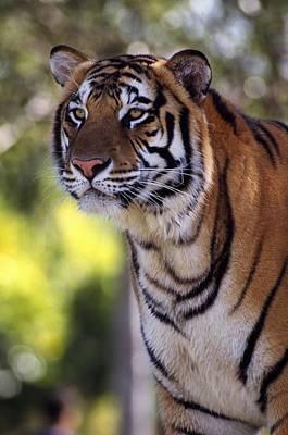 Tiger Hunt Photograph - Bengal Tiger by Natural Selection Ralph Curtin