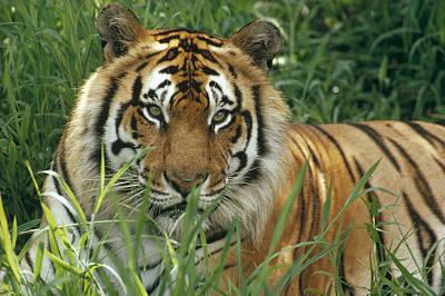 Photograph - Bengal Tiger Panthera Tigris Tigris by Gerry Ellis