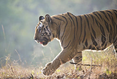 Tiger Markings Photograph - Bengal Tiger by Richard Packwood